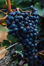 Blue grapes, ripe fruit iPhone wallpaper