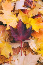 Maple leaves, yellow and red iPhone Wallpaper