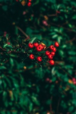 Red berries, leaves, blur iPhone wallpaper