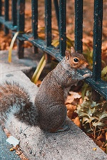 Squirrel, look, fence iPhone wallpaper