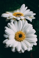 White gerbera flowers close-up iPhone wallpaper