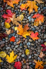 Yellow and red maple foliage, stones iPhone Wallpaper