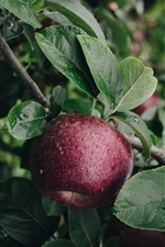 Apple tree, red apple, leaves iPhone wallpaper