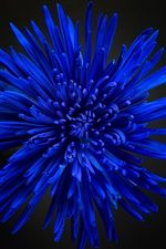 Blue chrysanthemum, petals iPhone wallpaper