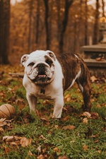 Bulldog play ball in the forest iPhone wallpaper