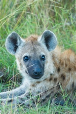Hyena rest in the grass iPhone wallpaper