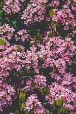 Many pink lilac flowers bloom, spring iPhone wallpaper
