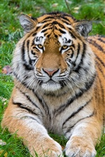 Tiger rest, front view iPhone wallpaper