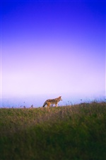 One fox walking in grass, sky iPhone Wallpaper