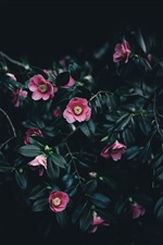 Pink camellia flowers iPhone wallpaper