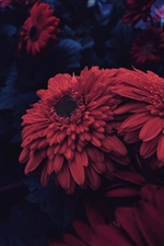Red aster flowers iPhone wallpaper