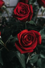 Two red roses, flower photography iPhone wallpaper