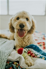 Cute dog, front view, tongue, bed iPhone wallpaper