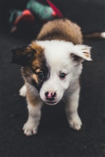 Cute puppy front view iPhone wallpaper