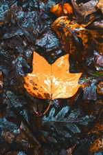Dry maple leaves, ground iPhone wallpaper