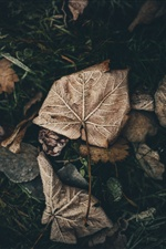 Frost leaf, dry iPhone wallpaper