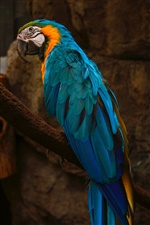 Macaw, blue feather parrot iPhone wallpaper