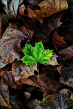 Maple leaves, one green foliage iPhone wallpaper