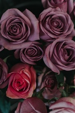 Pink and purple roses iPhone Wallpaper