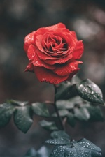 Red rose close-up, water droplets iPhone wallpaper