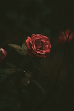 Red rose, petals, water droplets, darkness iPhone wallpaper