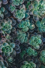Succulents plant iPhone wallpaper