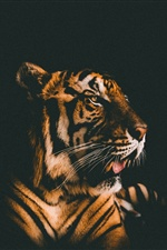Tiger front view, black background iPhone wallpaper