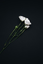 White roses, black background iPhone wallpaper