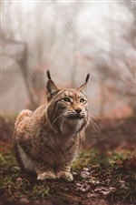 Wild cat, lynx iPhone wallpaper