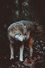 Wolf front view, wildlife iPhone wallpaper