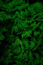 Green fern leaves, plant iPhone wallpaper