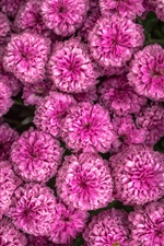 Many pink chrysanthemum iPhone wallpaper