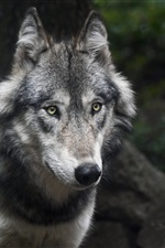 Wolf, face, eyes iPhone wallpaper